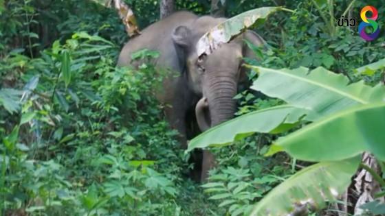 ช้างป่าอาละวาดบุกกินผลไม้ของชาวบ้าน-เจ้าหน้าที่เตือนห้ามยิง-ขึงลวดไฟฟ้า
