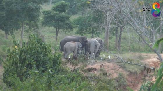ช้างป่าและกระทิงในอุทยานแห่งชาติกุยบุรี กลับมารวมโขลงอีกครั้ง หลังหายไปในป่าลึก