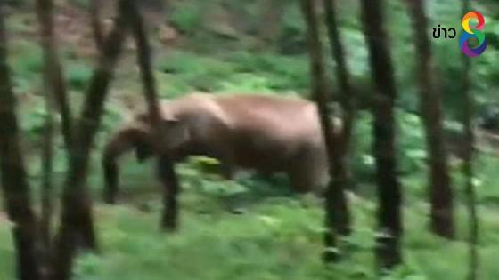 ช้างป่าบุกทำลายสวนมะพร้าว-สวนกล้วย ชาวบ้านเขตเทศบาลคุระบุรีเสียหาย