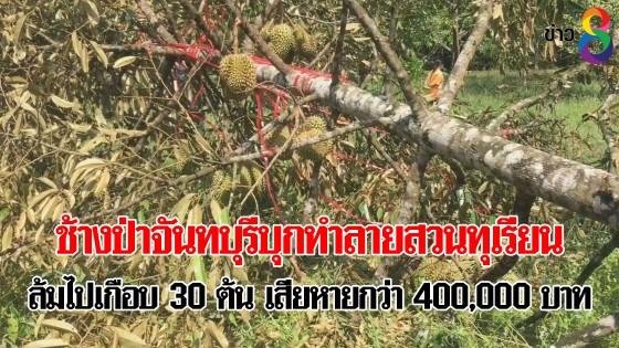 ช้างป่าจันทบุรีบุกทำลายสวนทุเรียน ล้มไปเกือบ 30 ต้น เสียหายกว่า 400,000 บาท