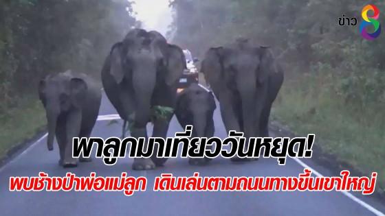 พาลูกมาเที่ยววันหยุด! พบช้างป่าพ่อแม่ลูก เดินเล่นตามถนนทางขึ้นเขาใหญ่