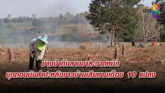 ช้างป่าทับลานอาละวาดหนัก บุกถอนมันสำปะหลังชาวบ้านเสียหายเกือบ 10 แปลง