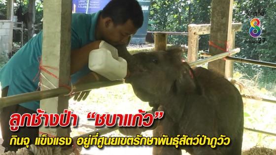 """รมว.ทส. ระงับโครงการปล่อยลูกช้างป่า """"ชบาแก้ว"""" คืนสู่โขลง"""