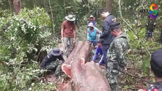 คนร้ายลอบตัดไม้พะยูงอายุเก่าแก่กว่า 120 ปี
