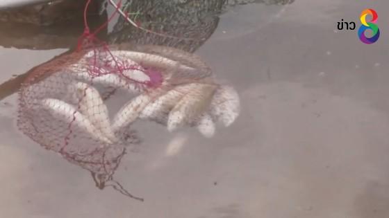 ปลาตายเกลื่อนอ่างเก็บน้ำ ชาวบ้านแห่จับไปทำปลาร้า