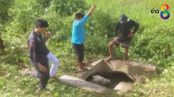กู้ภัยมุดท่อระบายน้ำ ช่วยเหลือวัวท้องแก่ 8 เดือน (คลิป)