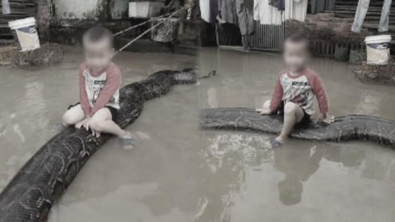 """เด็กชาย 3 ขวบขี่ """"งูหลามยักษ์"""" ยาว 6 เมตร..."""
