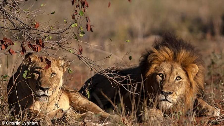 จุดจบนักล่า!แอฟริกาใต้พบศพนักล่าสัตว์เหลือแต่หัวถูกสิงโตฆ่า-กัดกิน