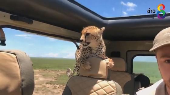 นาทีชีวิต เสือชีตาร์ กระโดดเข้ามาในรถนักท่องเที่ยว