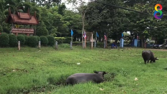 ชาว อ.กาบเชิง ผวาหนัก พบควายตายด้วยโรคพิษสุนัขบ้า ตัวที่ 5