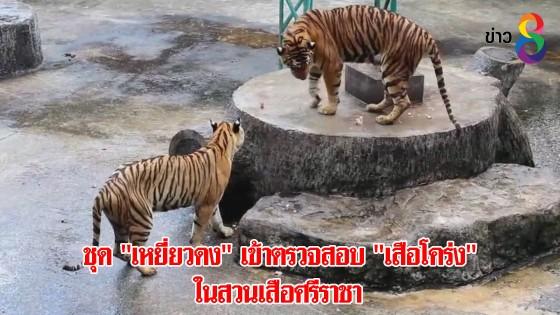 """ชุด """"เหยี่ยวดง"""" เข้าตรวจสอบ """"เสือโคร่ง"""" ในสวนเสือศรีราชา"""