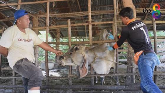 """ปศุสัตว์สระแก้วเตือนเกษตรกรระวัง """"โรคคอบวม"""" ระบาดในโคกระบือตามแนวชายแดน"""
