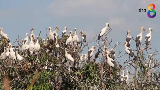 นกปากห่างจำนวนมากบุกบ้าน-สวนมะม่วงชาวอ่างทองกว่า 200...