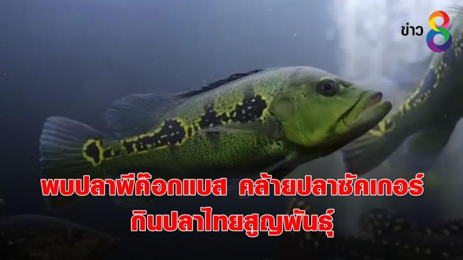 พบปลาพีค๊อกแบส คล้ายปลาซัคเกอร์ กินปลาไทยสูญพันธุ์