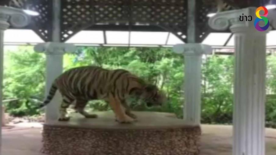 ตรวจสอบสวนเสือหลังชาวโชเชียลแชร์ภาพล่ามโซ่เสือให้นักท่องเที่ยวถ่ายรูป