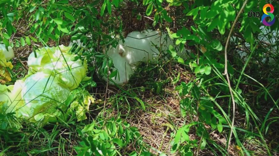 ทิ้งน้องทำไม? พบกระต่ายถูกทิ้งในป่าแหลมสนอ่อ จ.สงขลา กว่า 30 ตัว