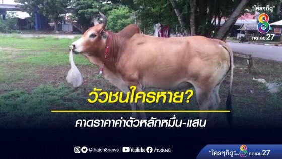 วัวชนราคาหลักหมื่น-แสน หลงกลางเมืองหาดใหญ่ เร่งตามหาเจ้าของ