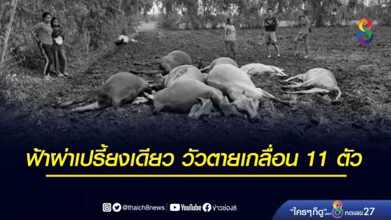 ฟ้าผ่าเปรี้ยงเดียว วัวตายเกลื่อน 11 ตัว