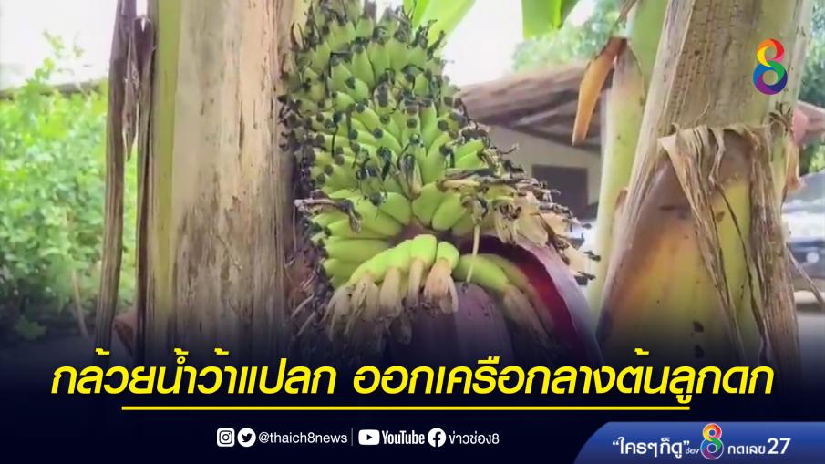 กล้วยน้ำว้าแปลก ออกเครือกลางต้นลูกดก