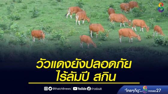 วัวแดงในเขตป่าห้วยขาแข้ง ปลอดภัยจากลัมปี สกิน