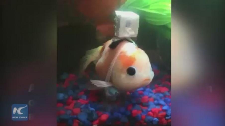 แปลกแต่จริงสร้างวีลแชร์ช่วยปลาทองว่ายน้ำ
