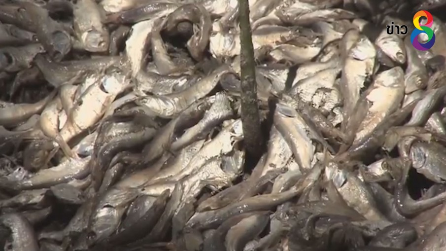 ปลาซาดีนนับล้านตัวลอยเกลื่อนอ่าวในคอสตาริกา